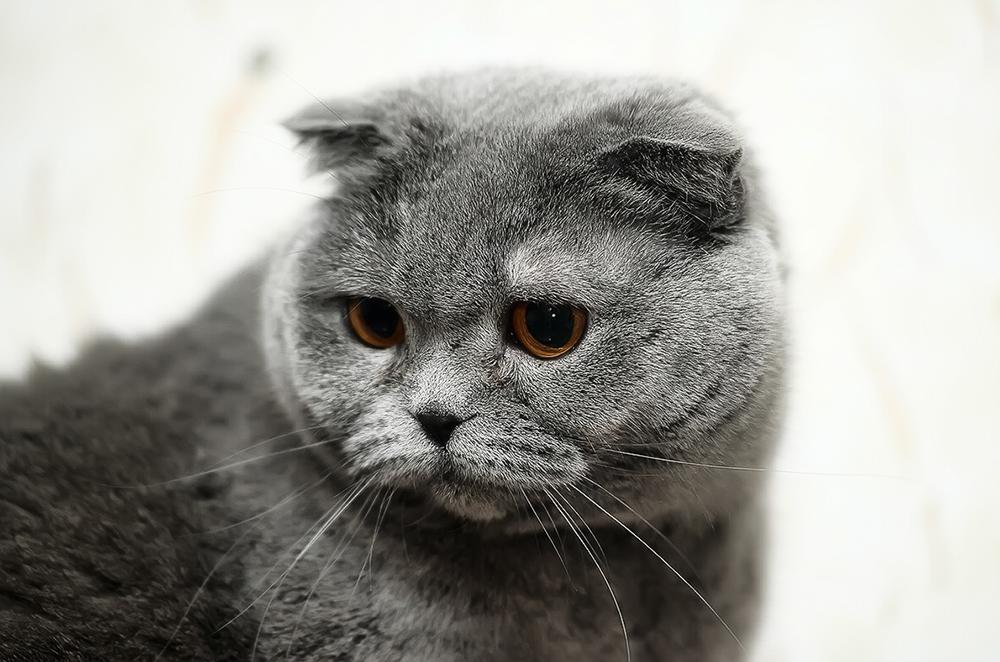 Болезни шотландских вислоухих кошек