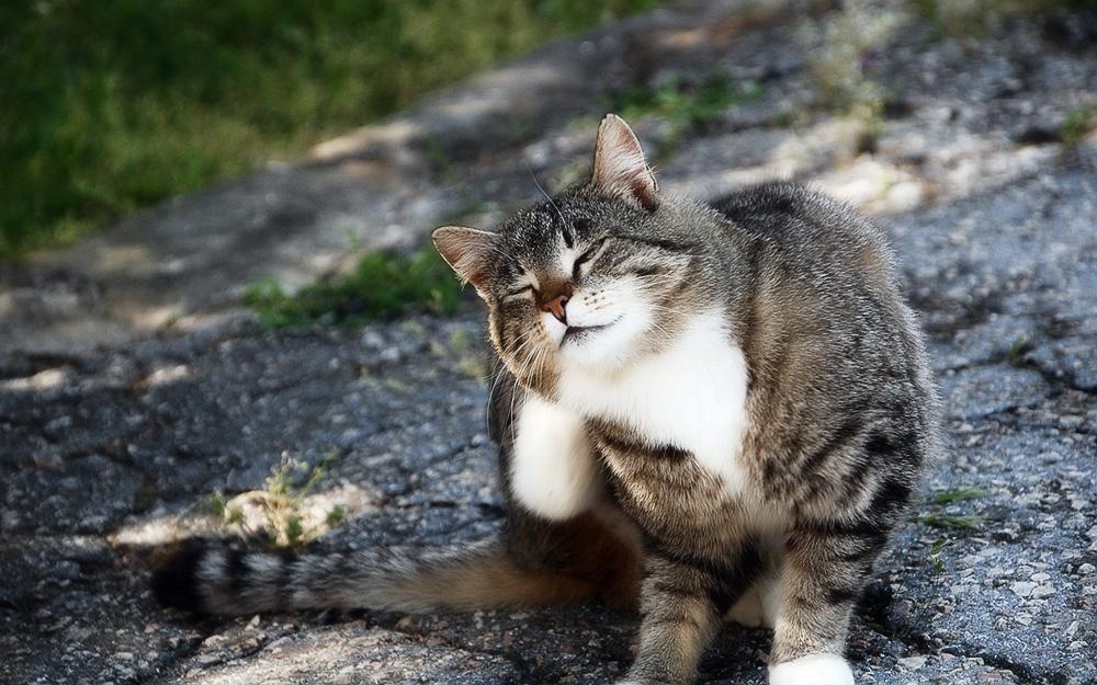 Блохи у кошек - причины, симптомы и лечение