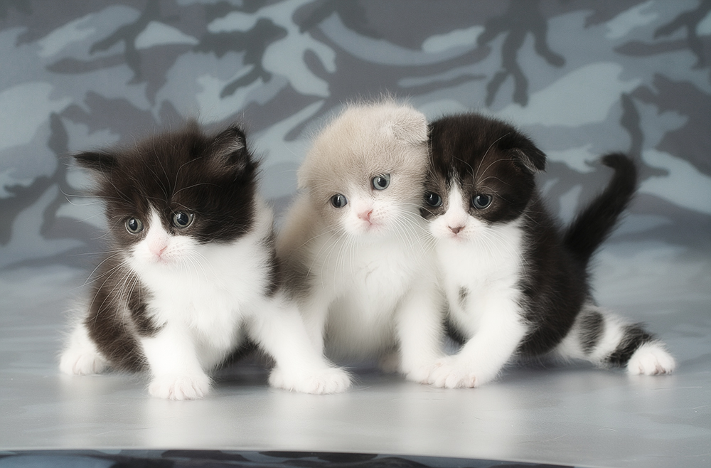 фото фолдов котят оболочкой