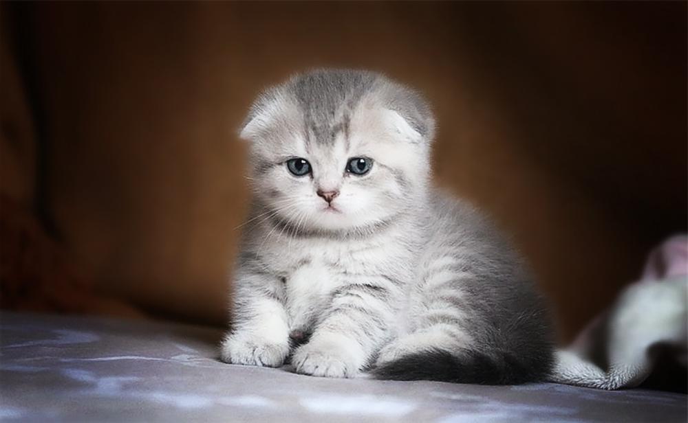 Выбор шотландской вислоухой кошки