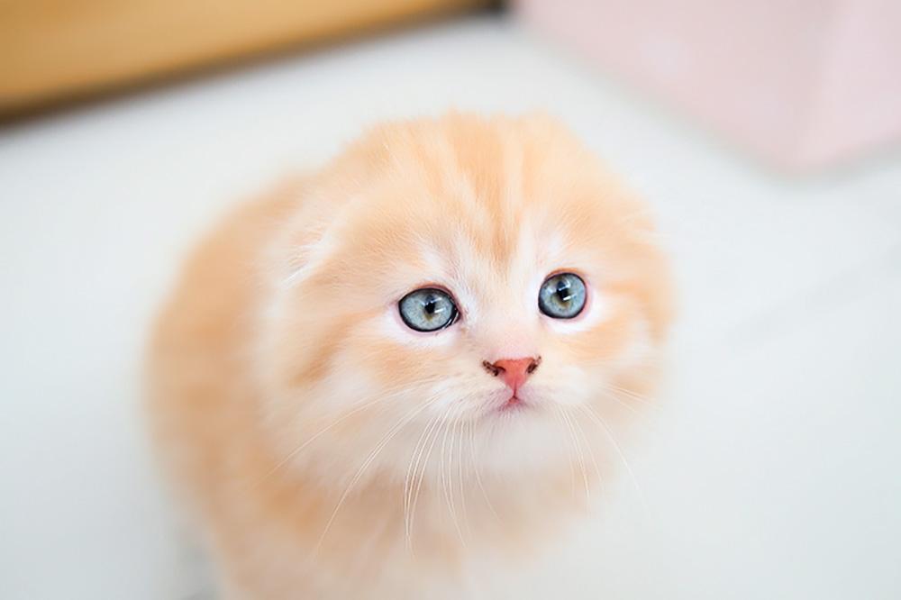 Разведение вислоухих шотландских кошек