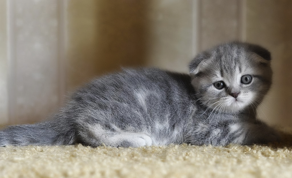 картинки котят вислоухих британцев серые брюнеток