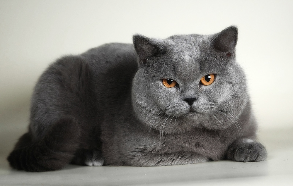 top-5-najladniejszych-kotow-rasowych-kot-brytyjski-krotkowlosy
