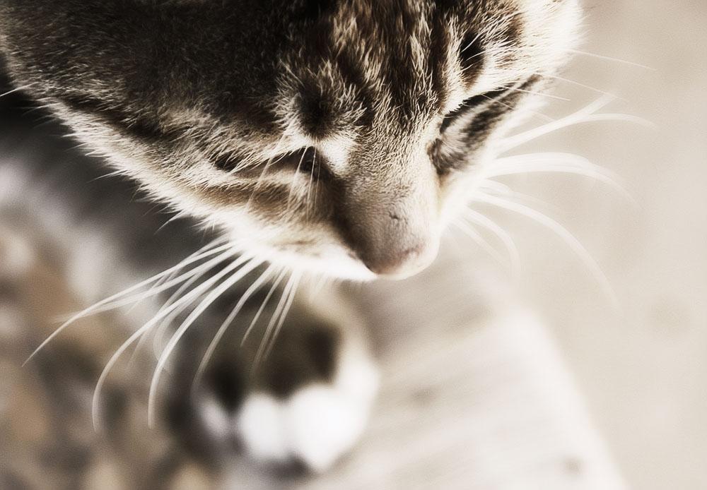 Диагностирование и лечение дерматита у кошек