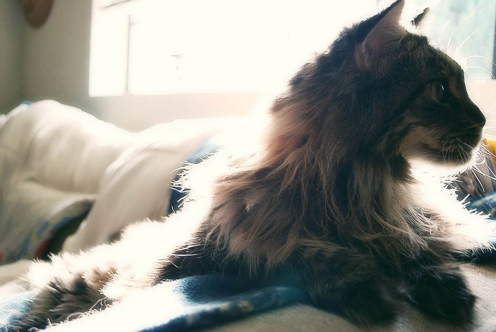 Подкожный клещ у кошек