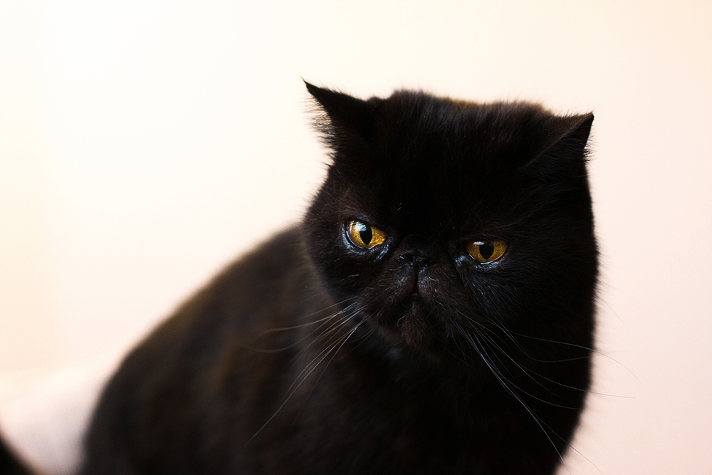 Микоплазмоз у кошек - основные симптомы и способы лечения