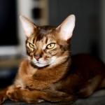 Абиссинская кошка (абиссинка)