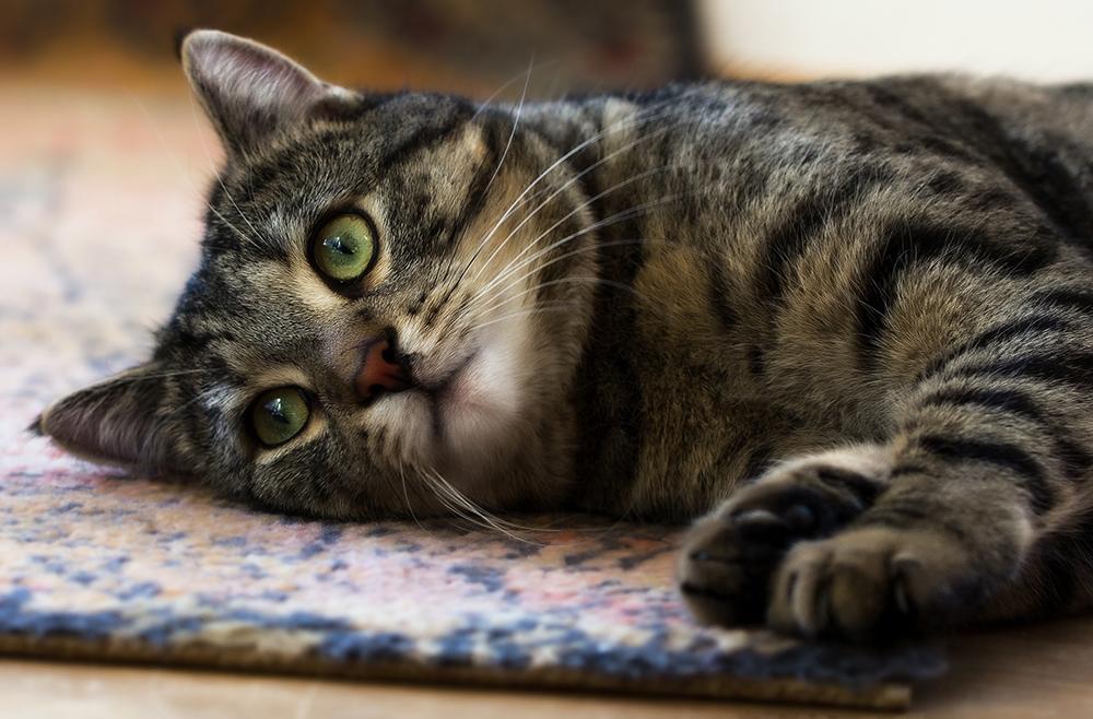 Энтерит у кошек и котят: симптомы и лечение