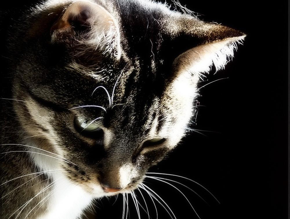 Шишка на шее у кота