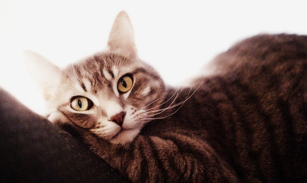 Мастит у кошки: лечение в домашних условиях