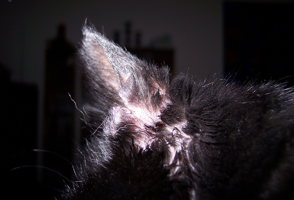 Ушей симптомы лечение у и кошек болезнь гемоглобин анализ крови женщины повышен у