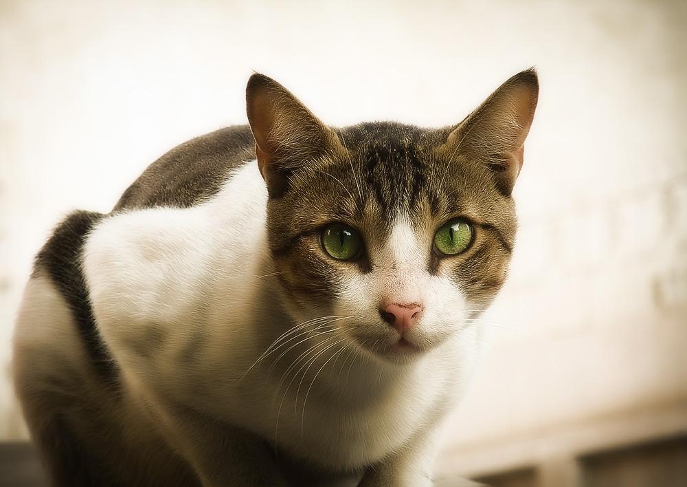 супрастин для кошек от аллергии