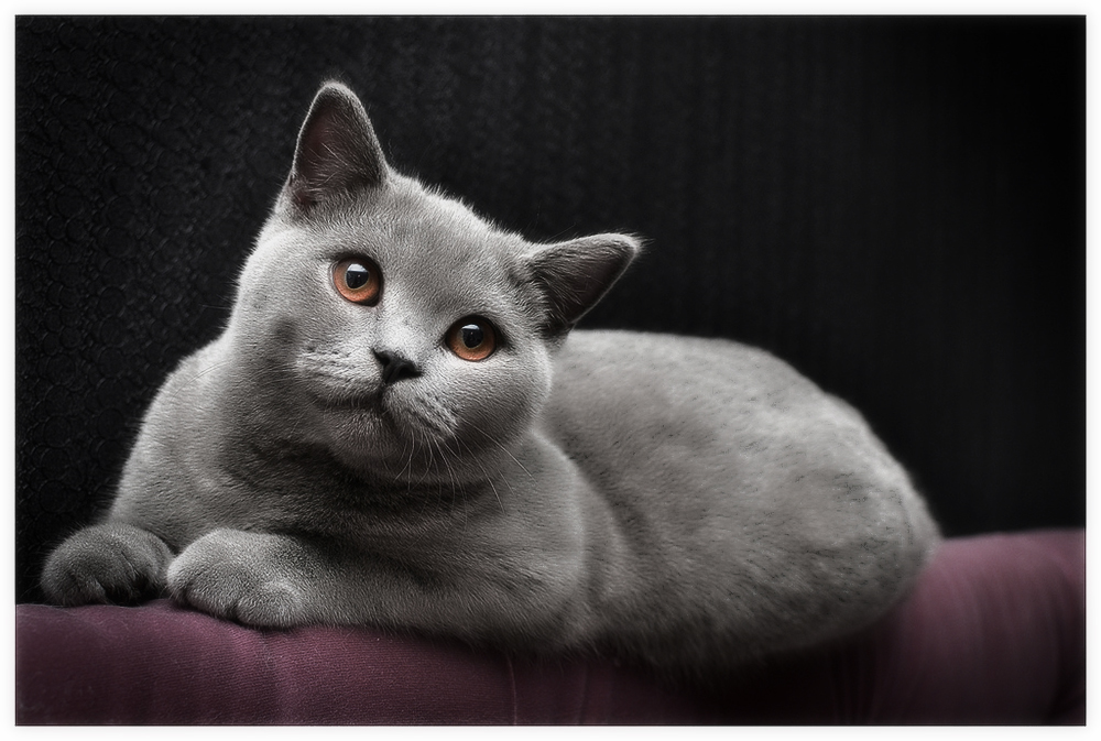 Британская кошка (британец)