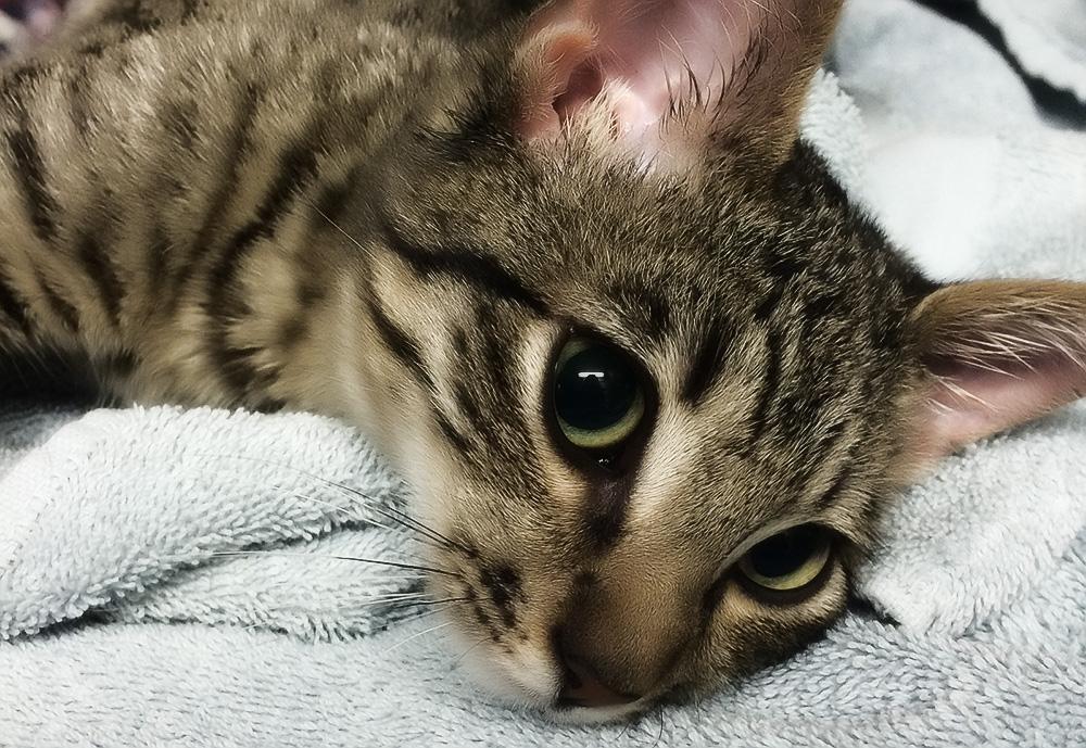 Лишай от кошки у человека - симптомы и лечение