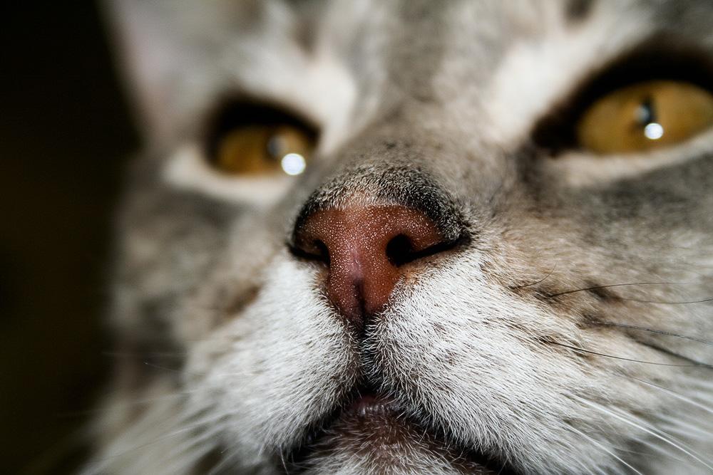 Насморк у кошек: лечение в домашних условиях