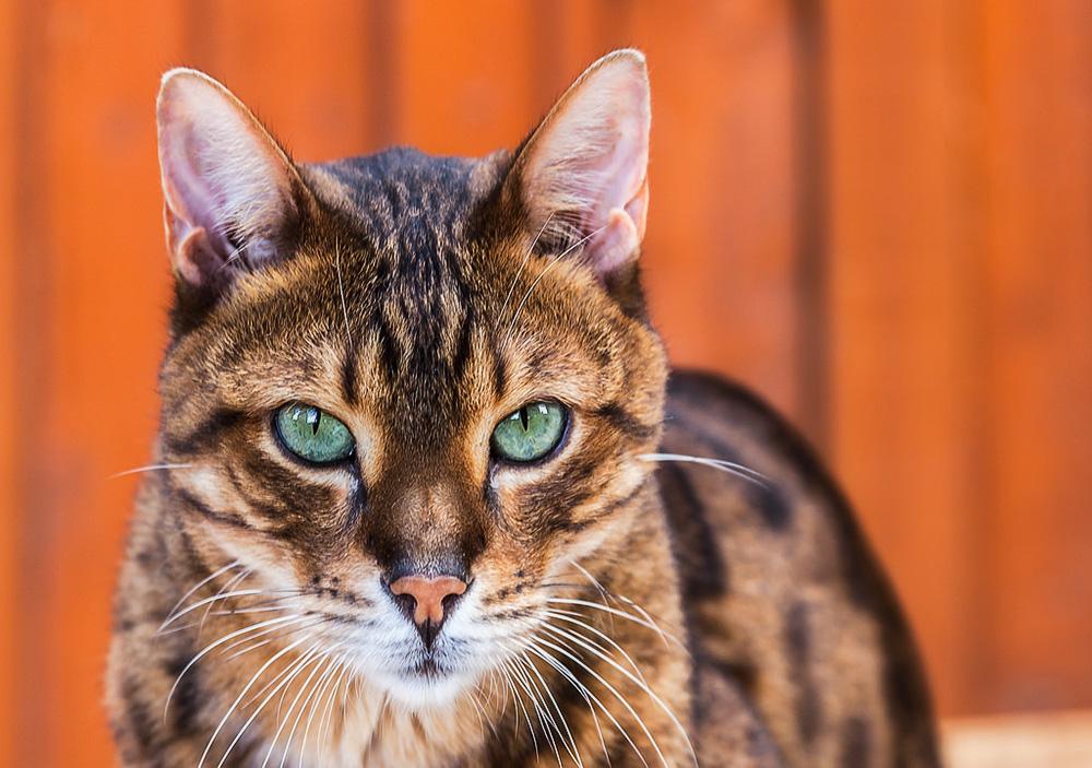 изобразительному кошка с леопардовым окрасом порода цена числу