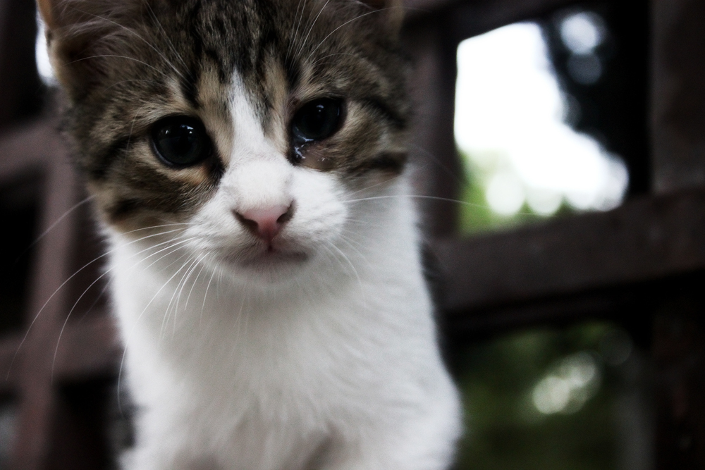 У кота слезится глаз: что делать?