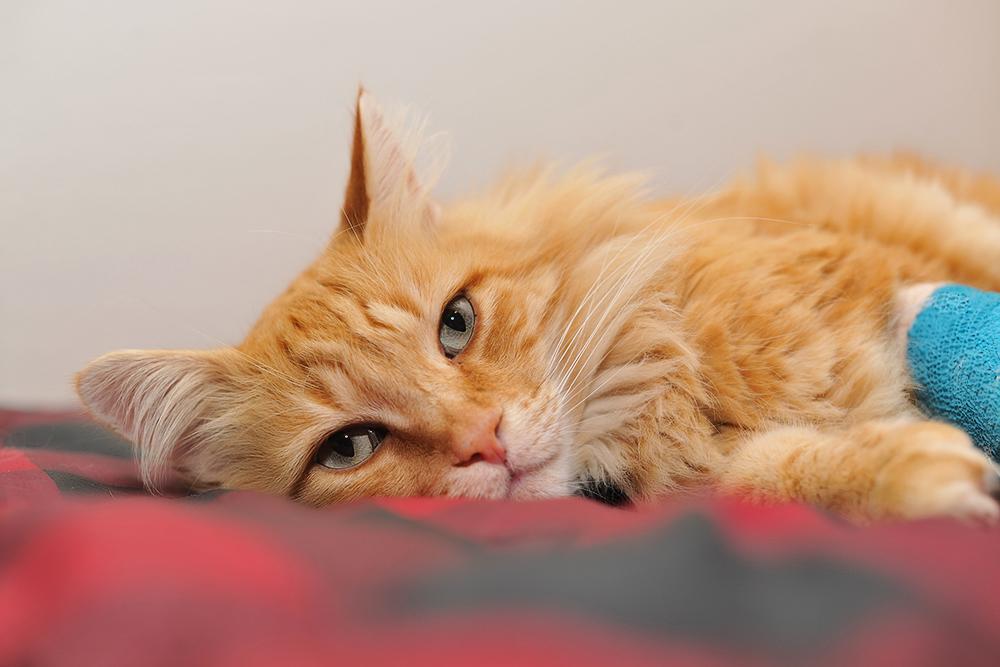 У кота на лапе рана чем обработать