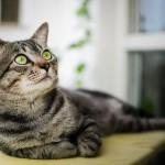 Бразильская короткошерстная кошка