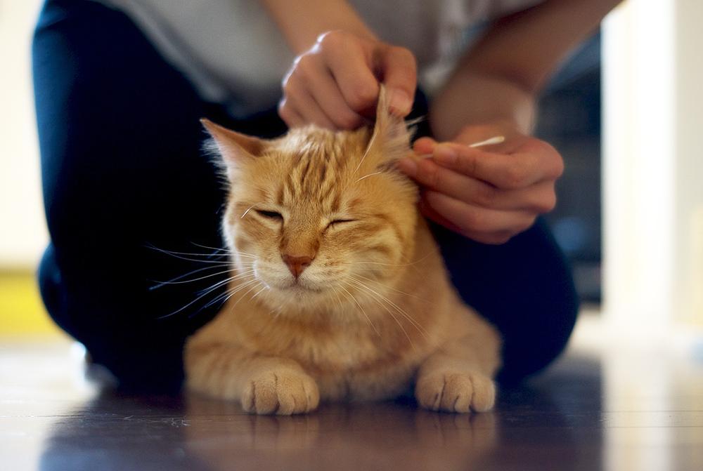 Ушные капли Барс для кошек: инструкция по применению, отзывы. Свойства капель от ушного клеща. Противопоказания капель от ушных клещей Барс для кошек.