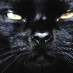 Кошка бомбейская