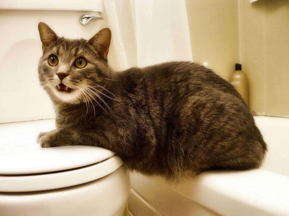 Как приучить кота ходить на унитаз: инструкция
