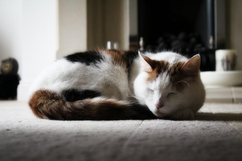 Усыпить кота в домашних условиях самим