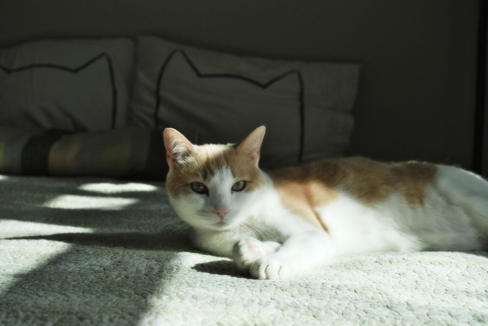 Амитразин: инструкция для кошек