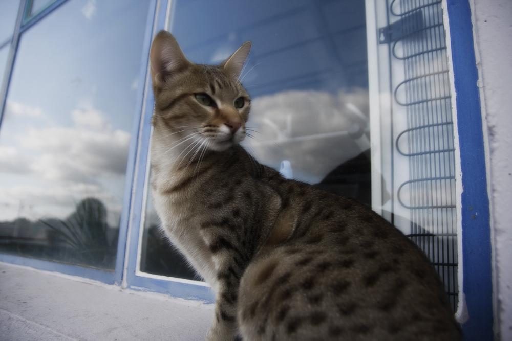 Кошка Ашера