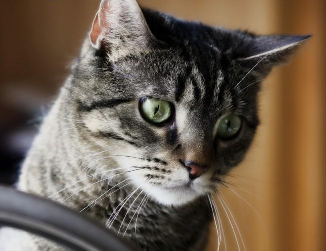 Как сделать укол коту подкожно и внутримышечно