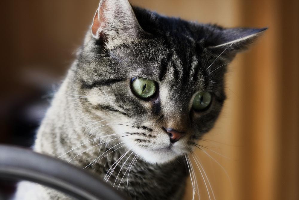 укол от гельминтов для кошек
