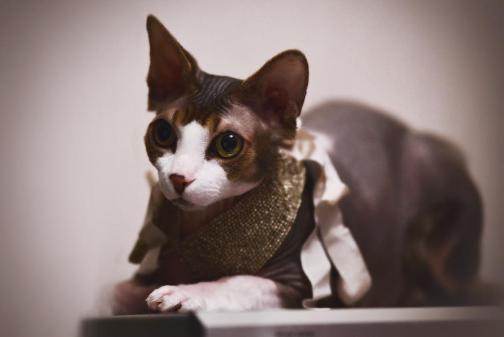 Кошка сфинкс: виды