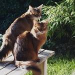 Сомалийская кошка