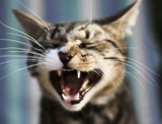 Сколько зубов у кошки?