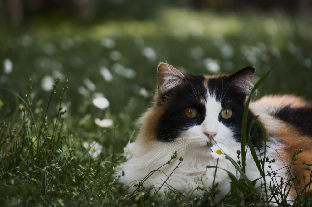 Трехцветная кошка — счастье в доме