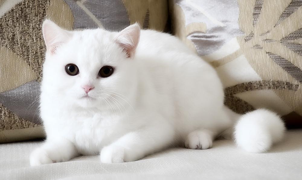 Белый-скоттиш-страйт1