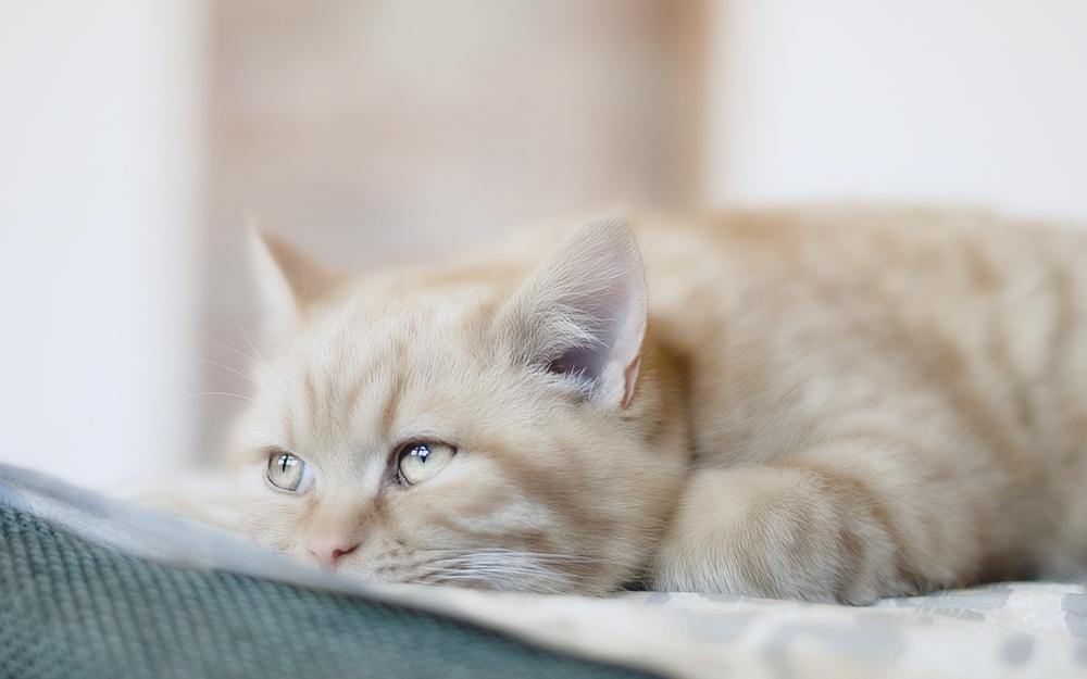 Как нужно лечить кошку от стригущего лишая?