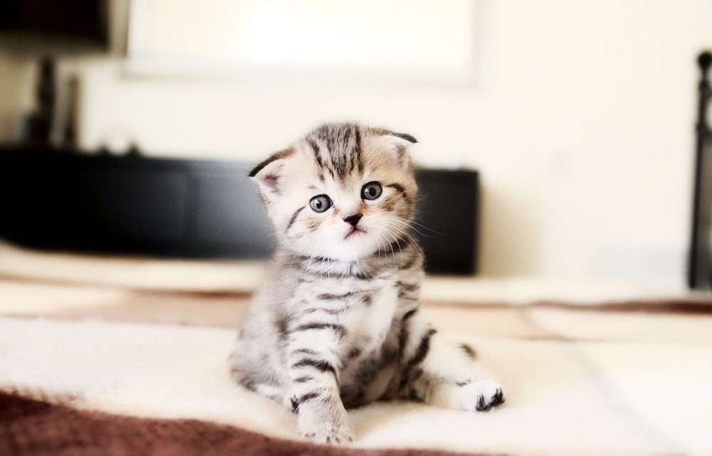 Как назвать вислоухую кошку девочку?