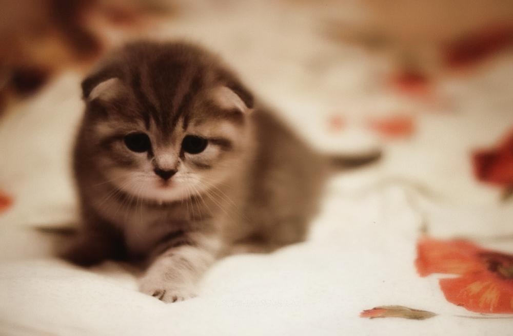 Популярные клички для шотландских вислоухих кошек