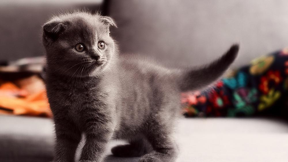 Фото и описание шотландских вислоухих котов