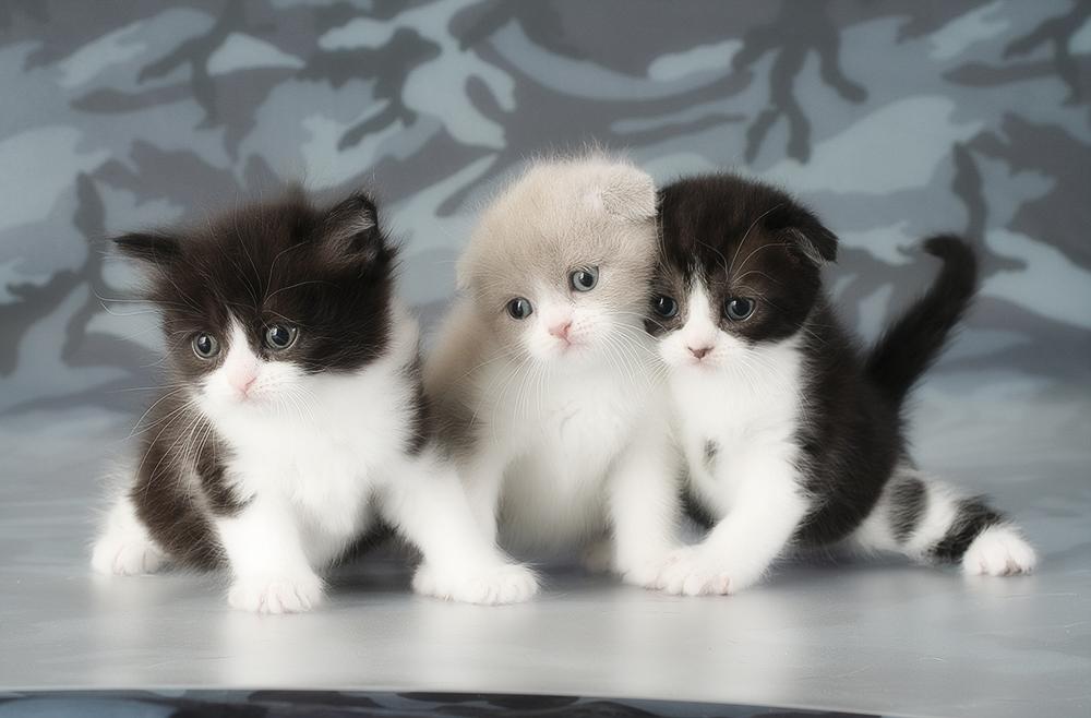 вислоухих фото котята шотландских