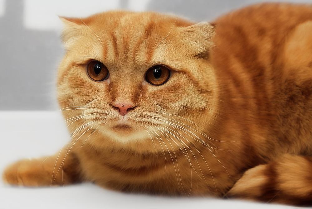 Шотландская вислоухая кошка (хайленд фолд)