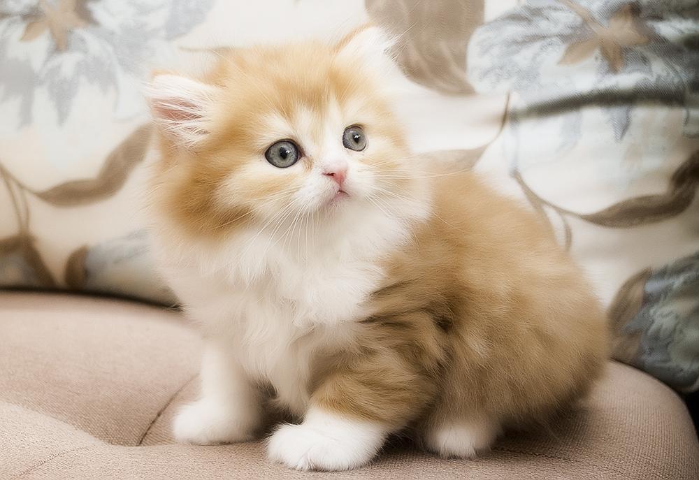 Шотландская прямоухая кошка (хайленд страйт)