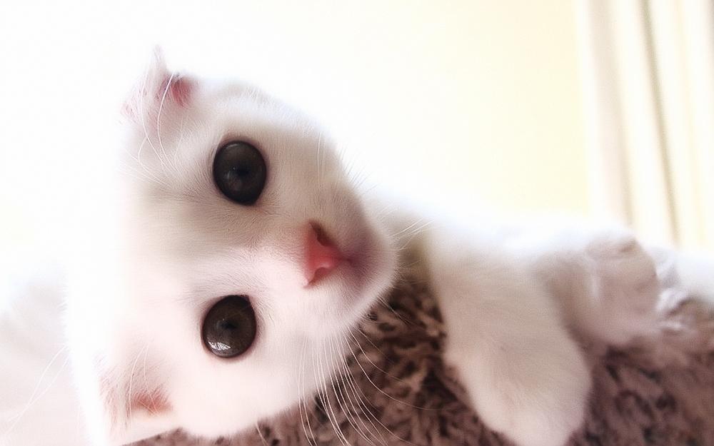 Чем нельзя кормить шотландского вислоухого кота