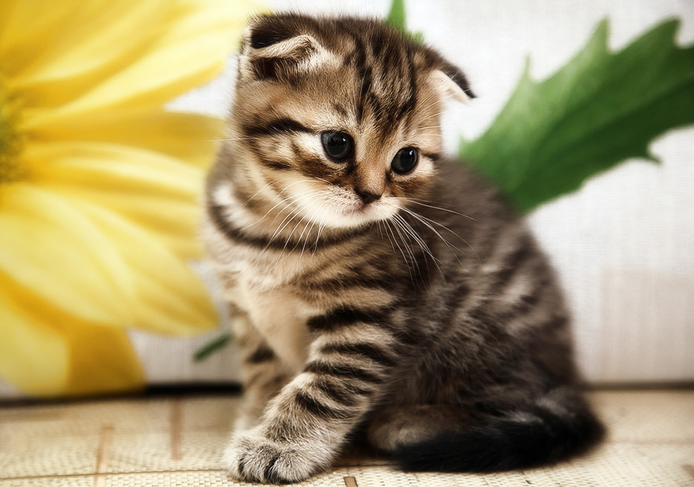 Как назвать шотландского вислоухого котенка мальчика