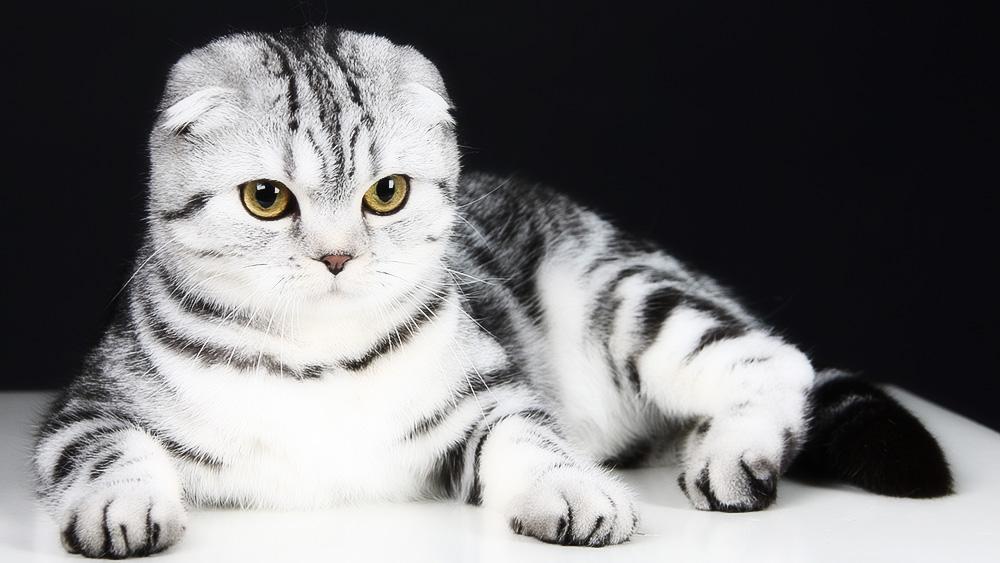 Как назвать шотландского вислоухого котенка мальчика серого цвета