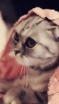 Шотландские вислоухие кошки - особенности породы, поведение и уход