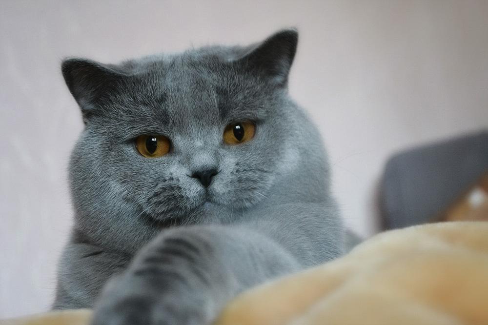Характер котят скоттиш страйт - как определить характер котёнка в раннем возрасте
