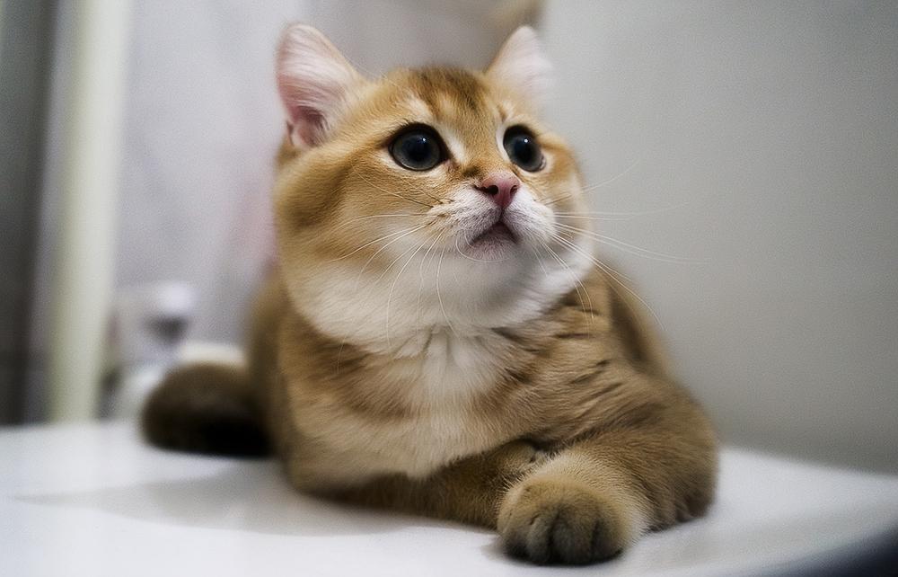 Имена для шотландской прямоухой кошки скоттиш страйт девочки