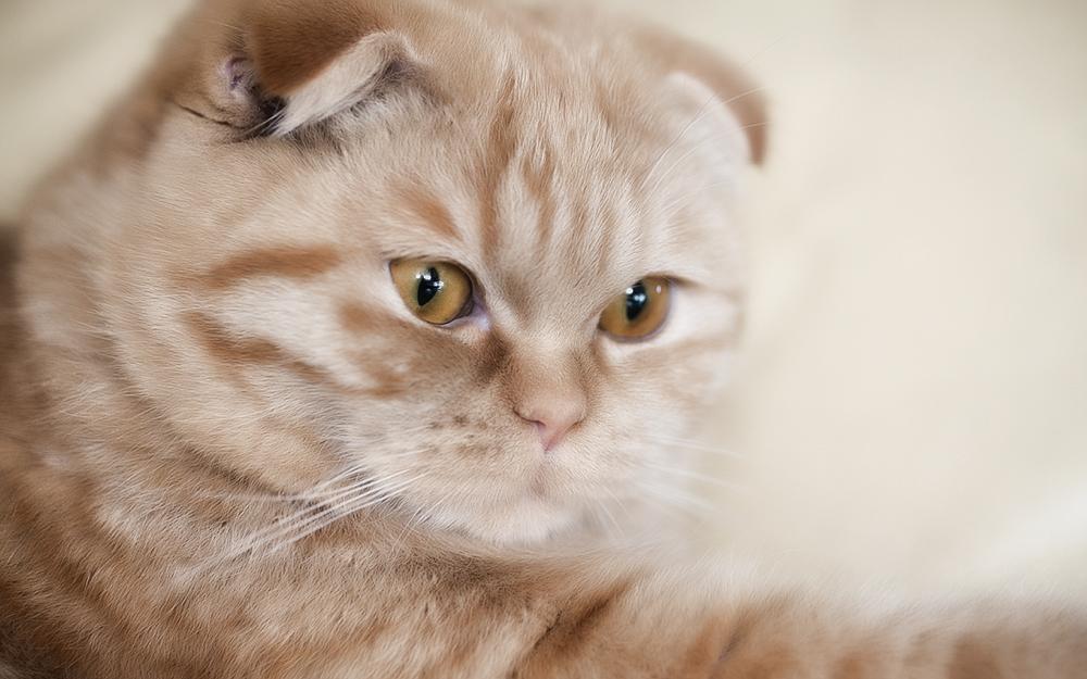 Выбор шотландского вислоухого котенка